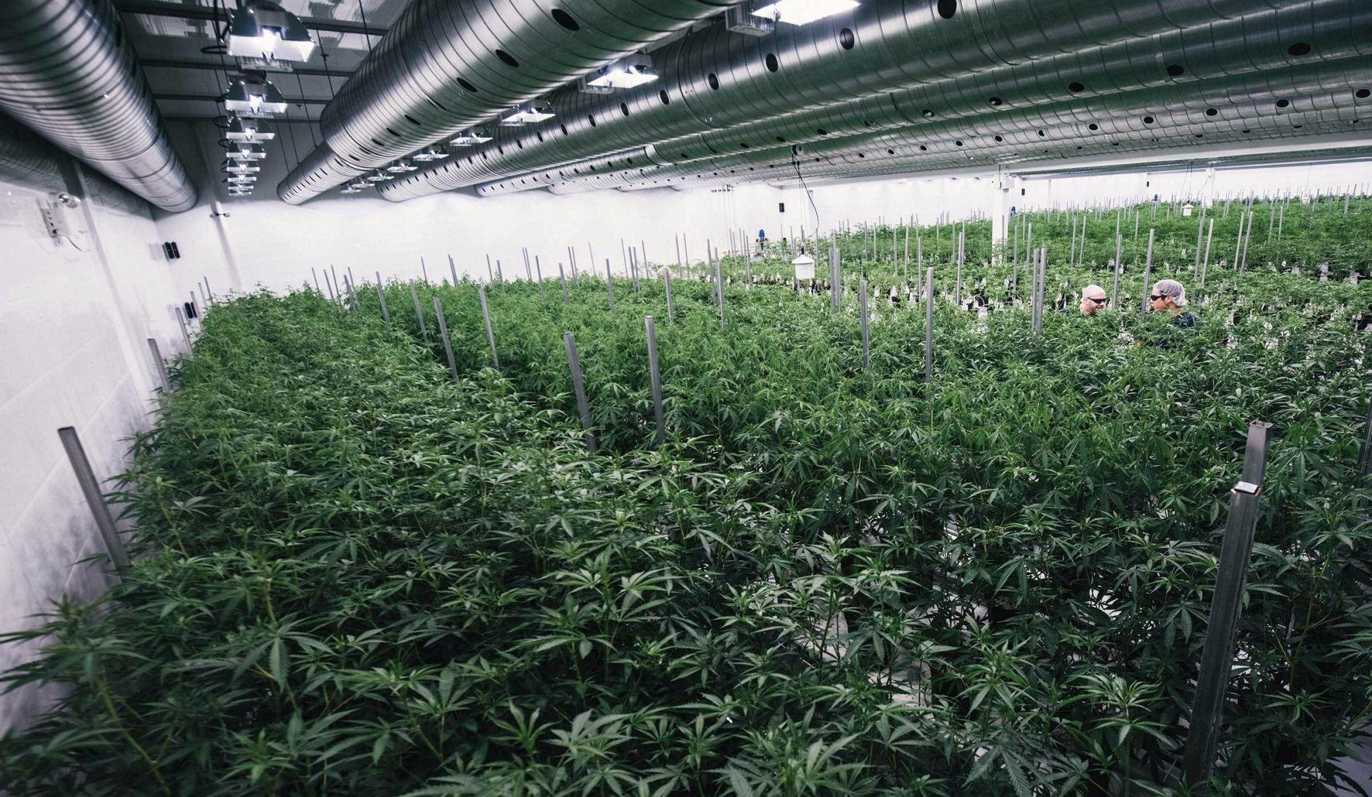 Envie de travailler dans une usine de cannabis?