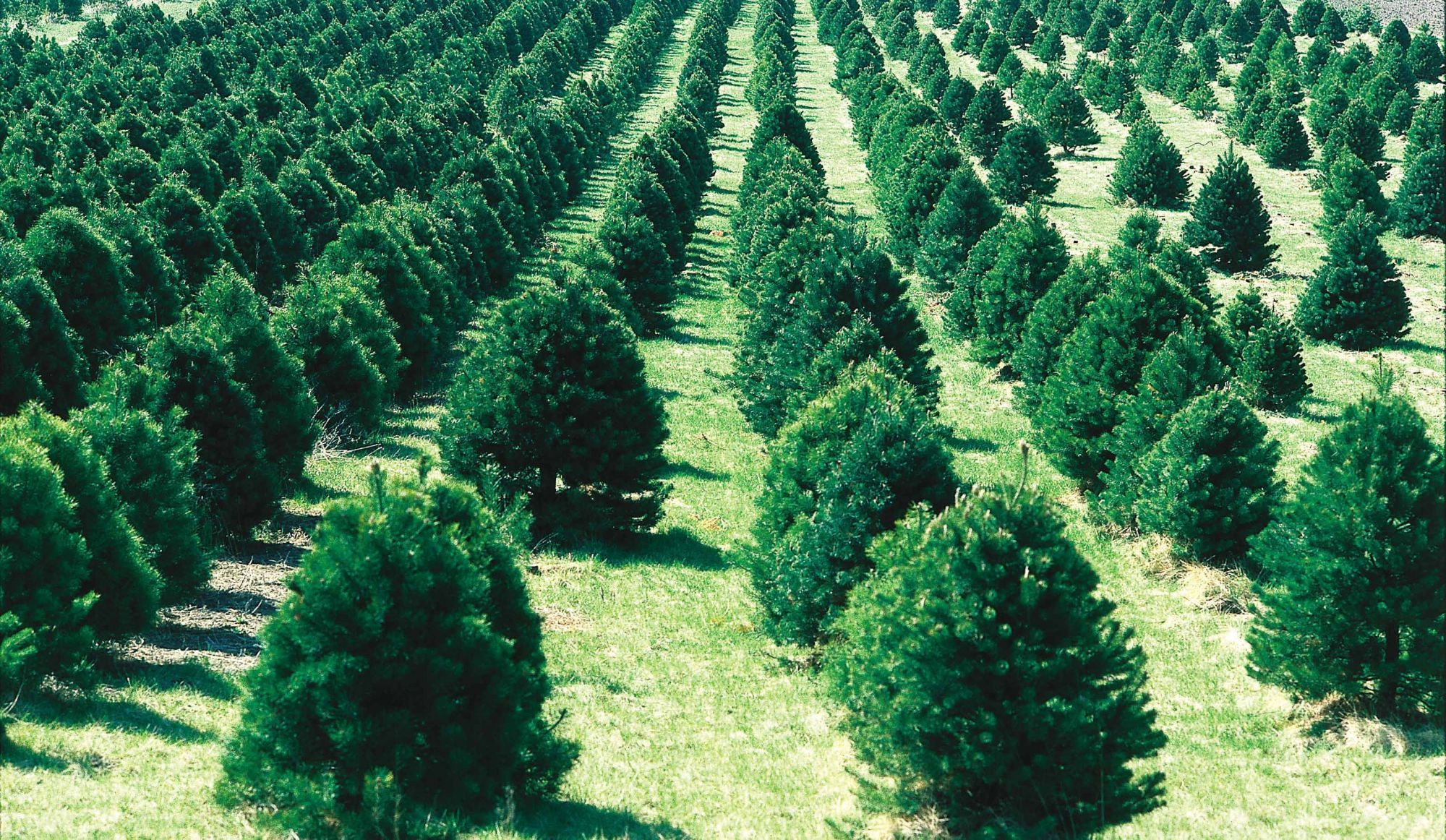 Here's When & How to get rid of your Christmas Tree