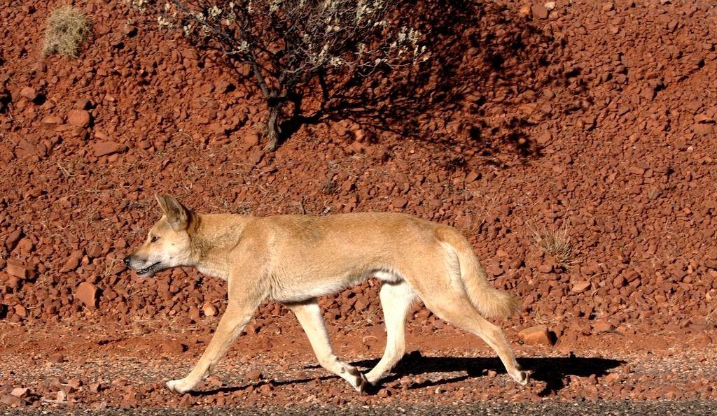 Une Québécoise attaquée par des chiens sauvages en Australie