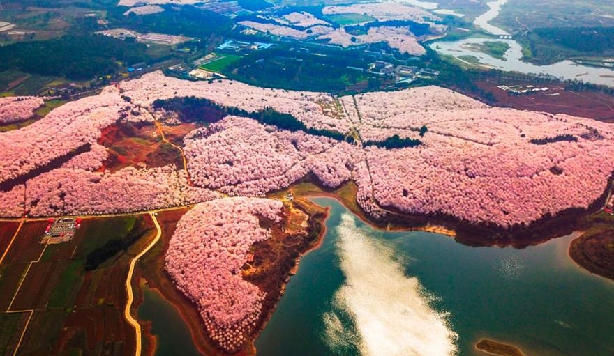 Le spectacle des cerisiers qui fleurissent