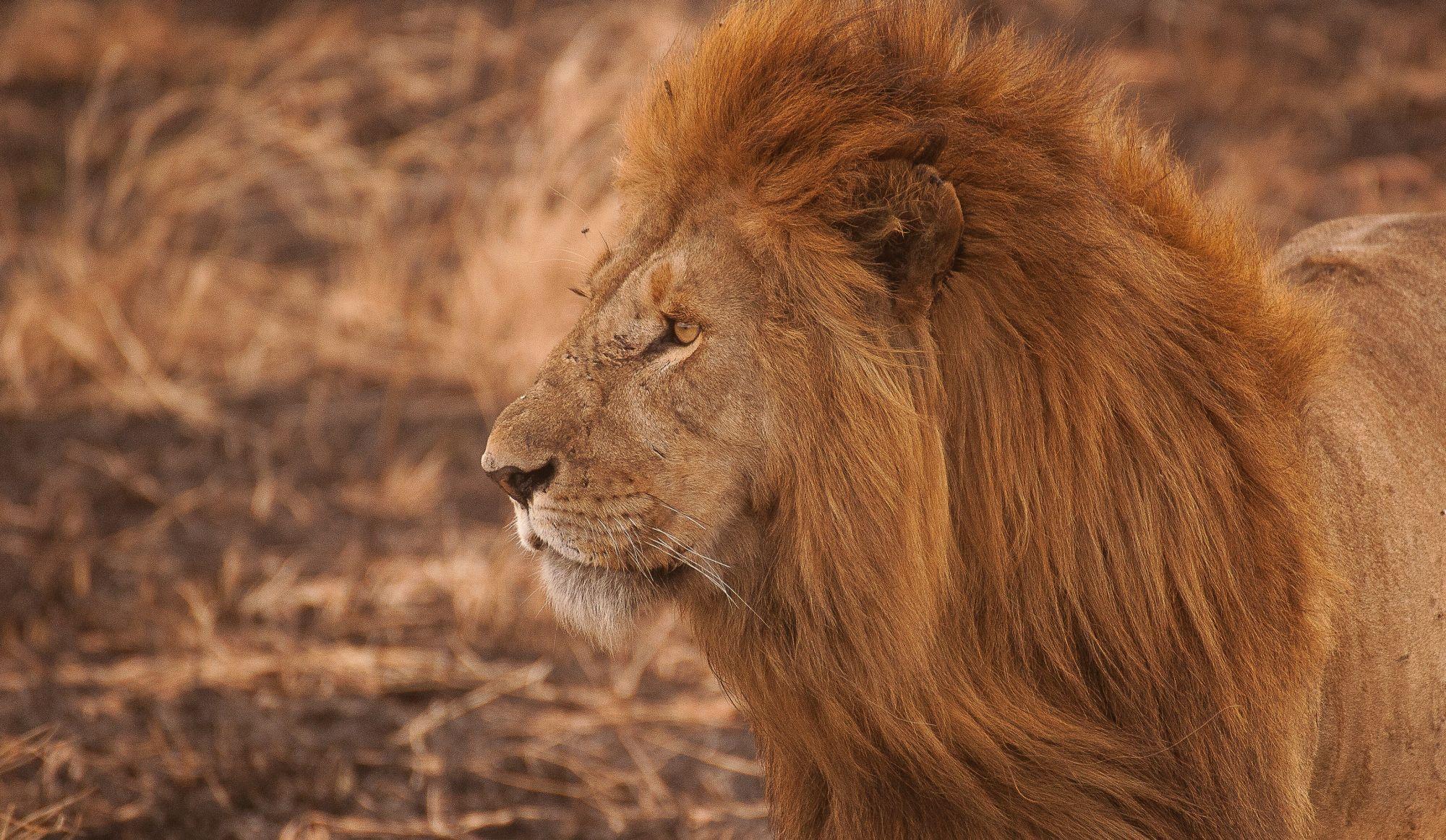 Des braconniers mangés par des lions