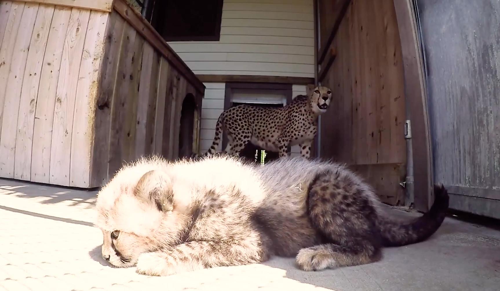 4 adorables bébés guépards sont nés au parc Safari!